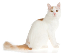 Are White Cats Prone To Blindness